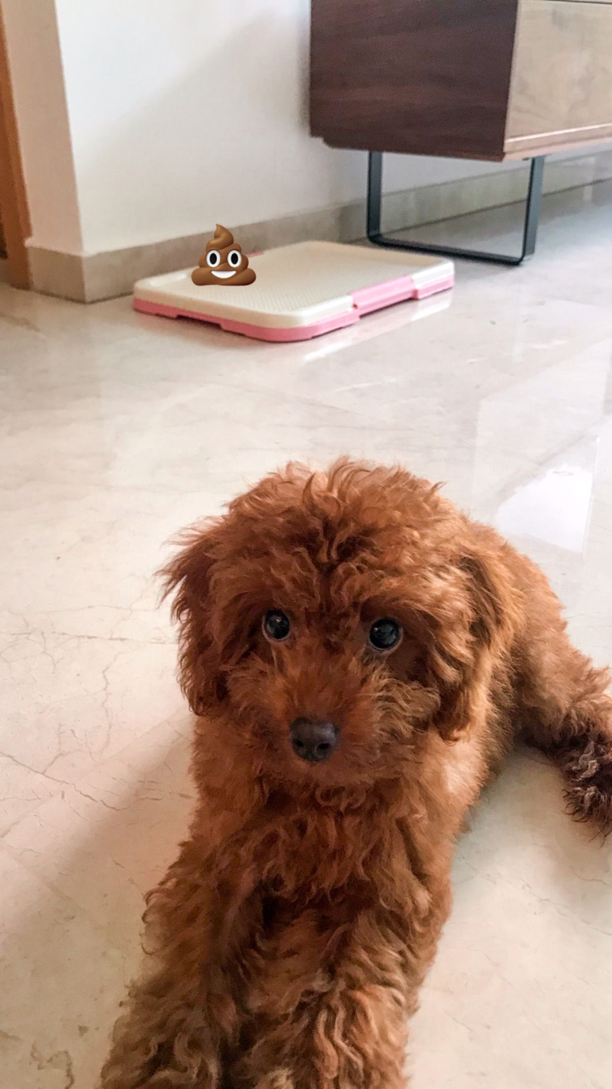 Red Toy Poodle Potty Training