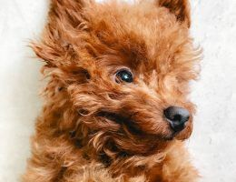 Red Toy Poodle Singapore